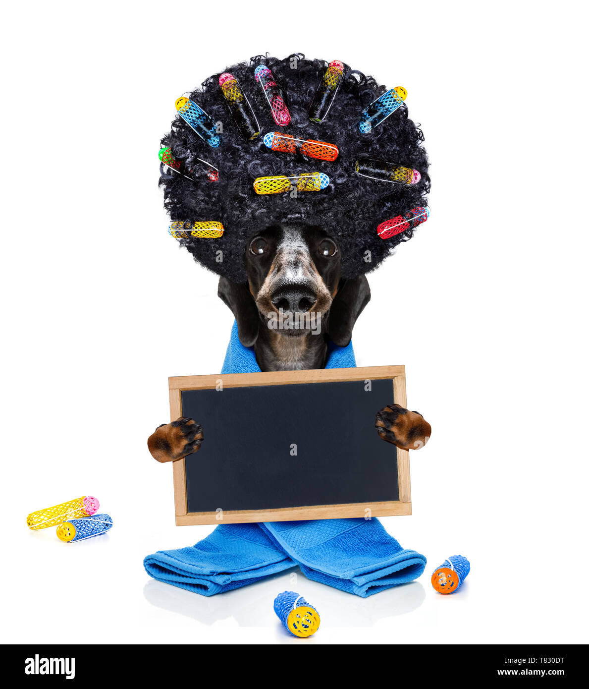 sausage dachshund dog  with hair rulers  and afro curly wig  hair at the hairdresser  behind a blank empty placard or banner, isolated on white backgr - Stock Image