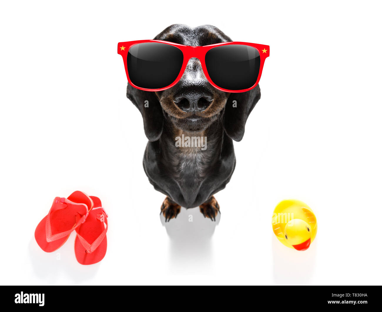 summer vacation sausage dachshund dog with rubber duck and flip flops - Stock Image