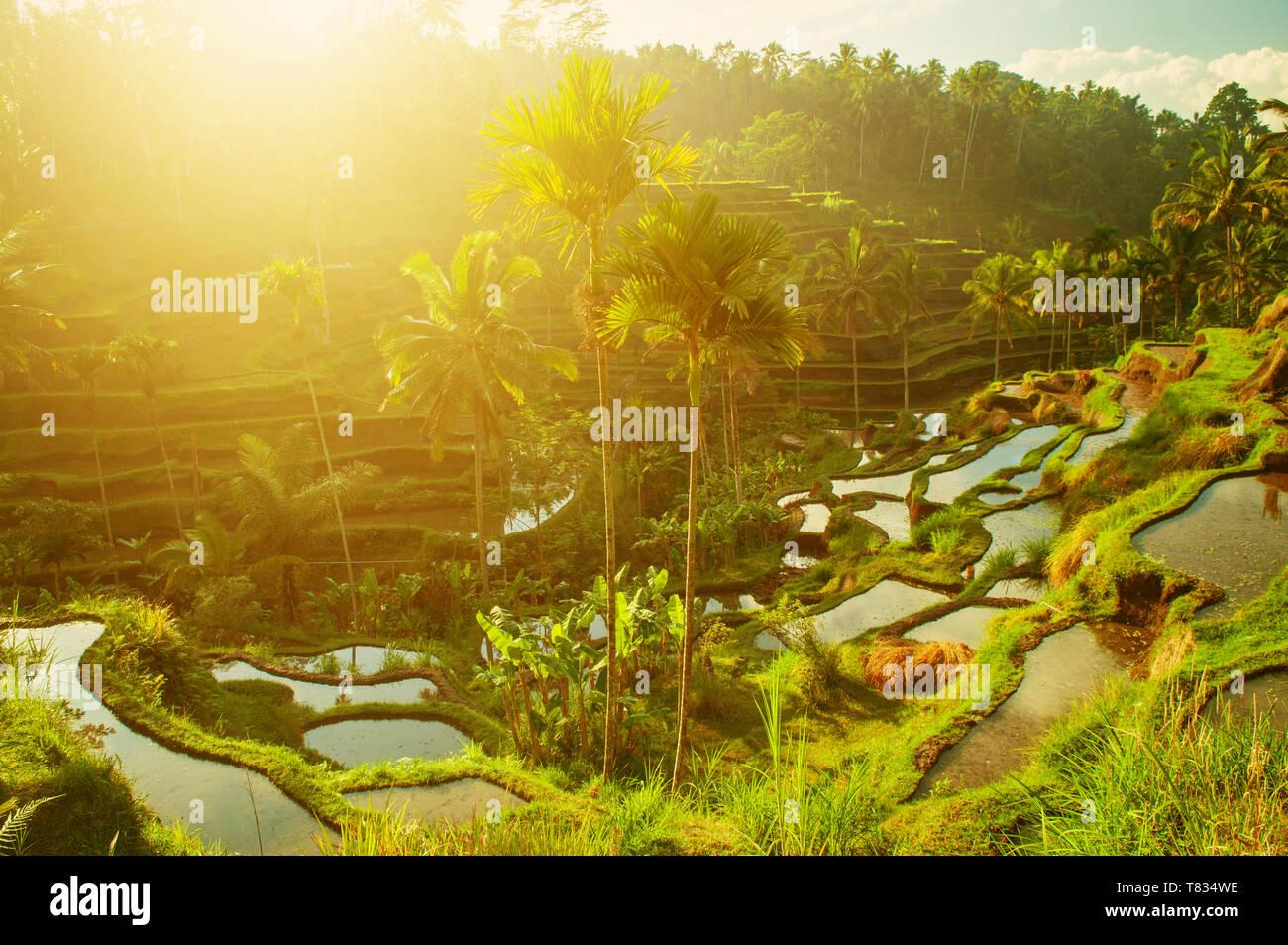 Terrace paddy rice fields in morning sunrise, Ubud, Bali, Indonesia - Stock Image