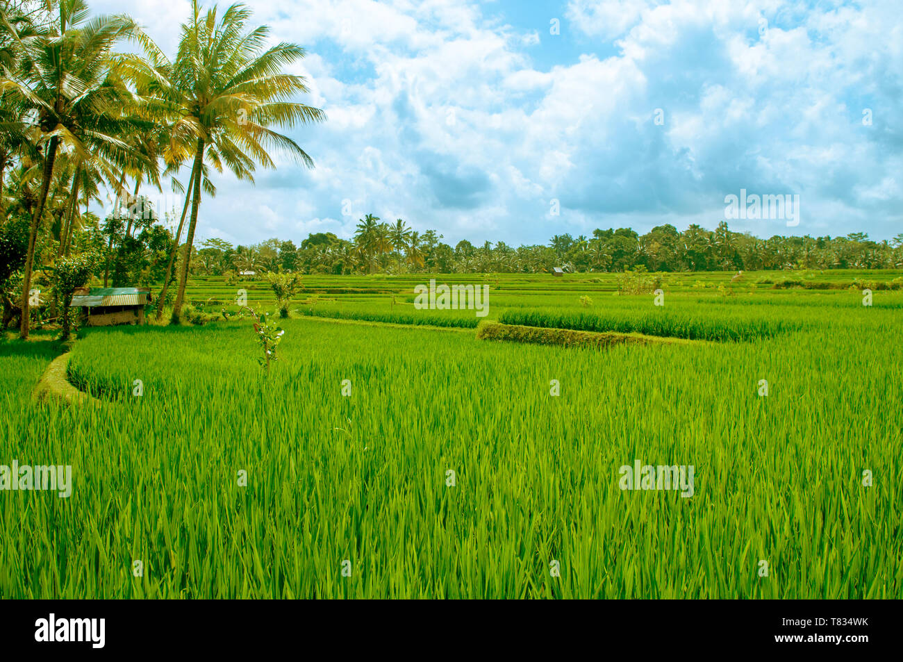 Paddy rice field in early stage at Bali, Indonesia. Coconut tree at background. - Stock Image