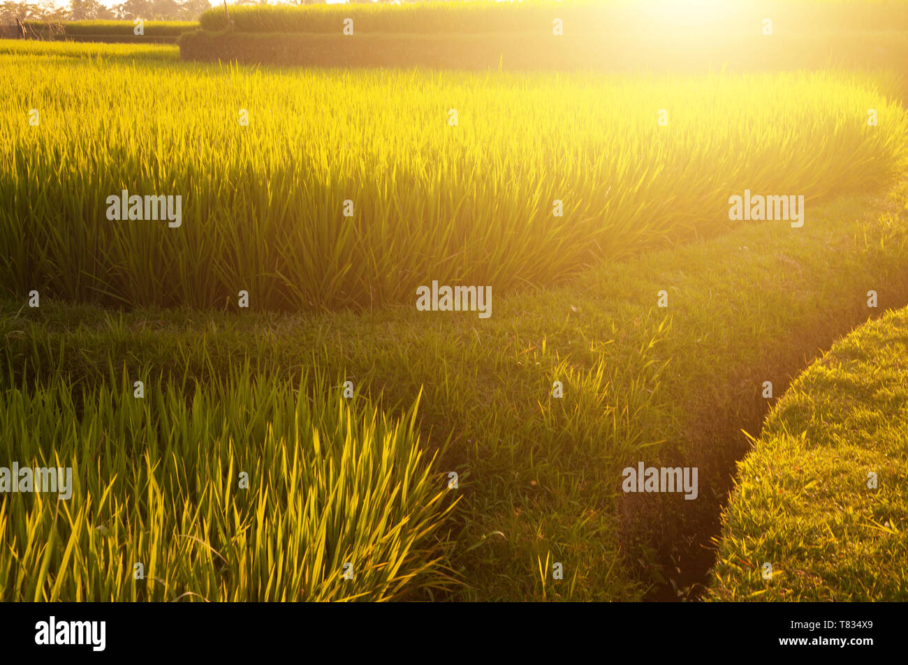 Terrace paddy rice fields in evening sunset, Bali, Indonesia. - Stock Image