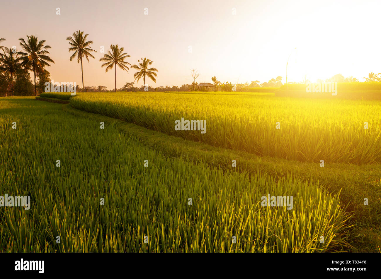 Paddy rice field in early stage at Bali, Indonesia. Coconut tree at background in sunset. - Stock Image