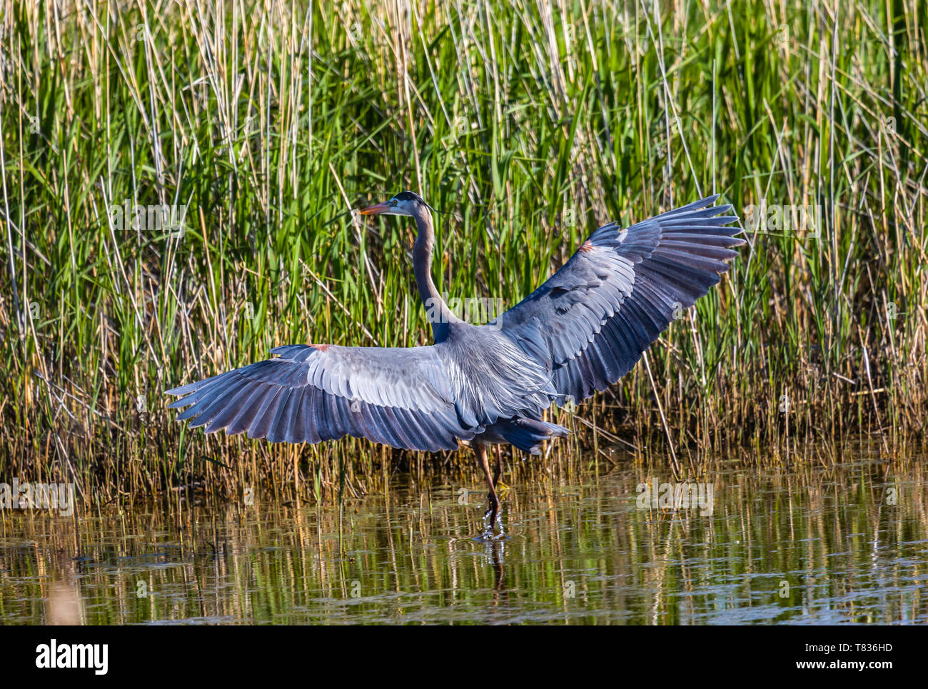In this shot a Great Blue Heron spreads its wings as it wades in the wetland waters of Bear River Migratory Bird Refuge near Brigham City, Utah, USA. - Stock Image