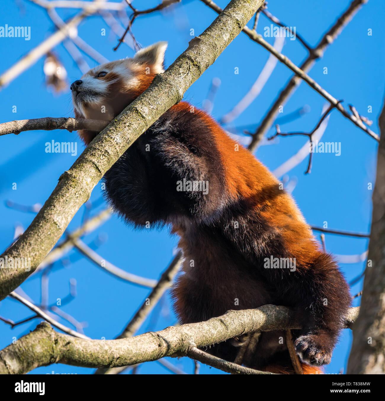 The red panda, Ailurus fulgens, also called the lesser panda. - Stock Image