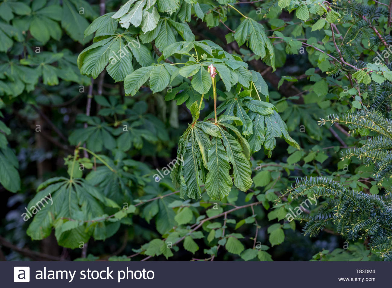 Illustration of the damage caused by grey squirrels (Sciurus carolinensis) to a Horse Chestnut tree (Aesculus hippocastanum) in the UK. - Stock Image