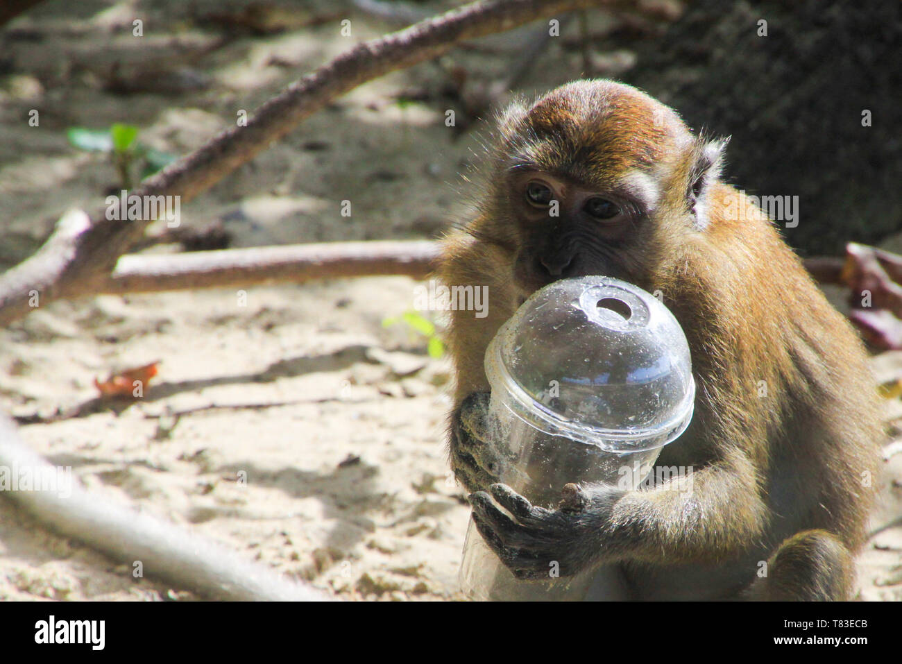 Close up of isolated macaque monkey holding plastic cup on polluted beach, Ko Phi Phi, Ai Ling beach, Thailand - Stock Image