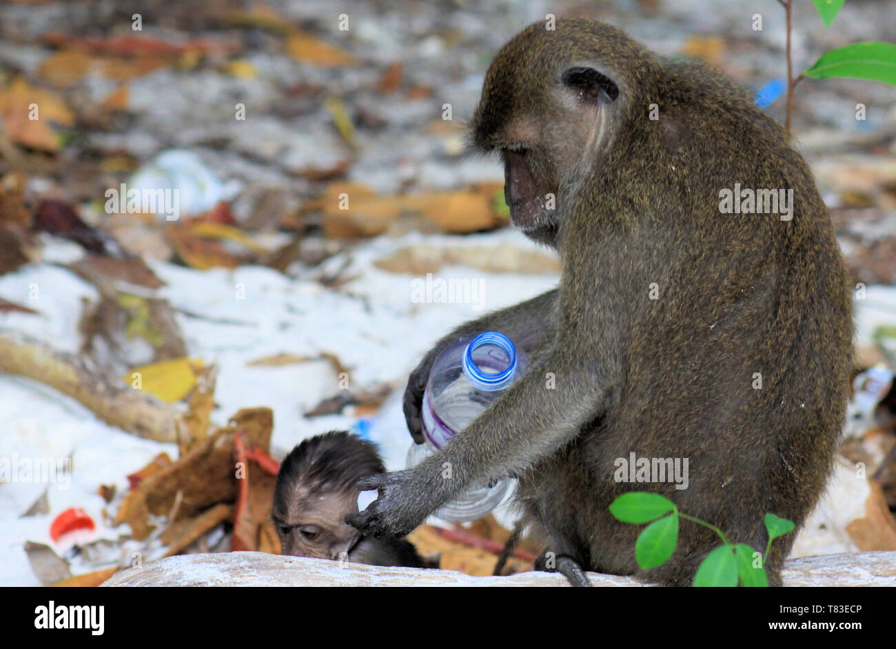 Close up of mother and baby Monkeys (crab-eating long-tailed Macaque, Macaca fascicularis) on polluted beach playing with plastic trash on Ko Phi Phi, - Stock Image