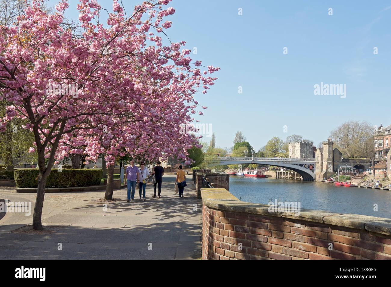 Cherry blossom along riverside walk with Lendal Bridge in spring York North Yorkshire England UK United Kingdom GB Great Britain Stock Photo