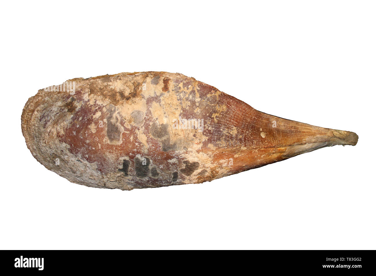 Fan Mussel Atrina fragilis - one of the largest (30 to 48 cm long) European bivalve molluscs Stock Photo