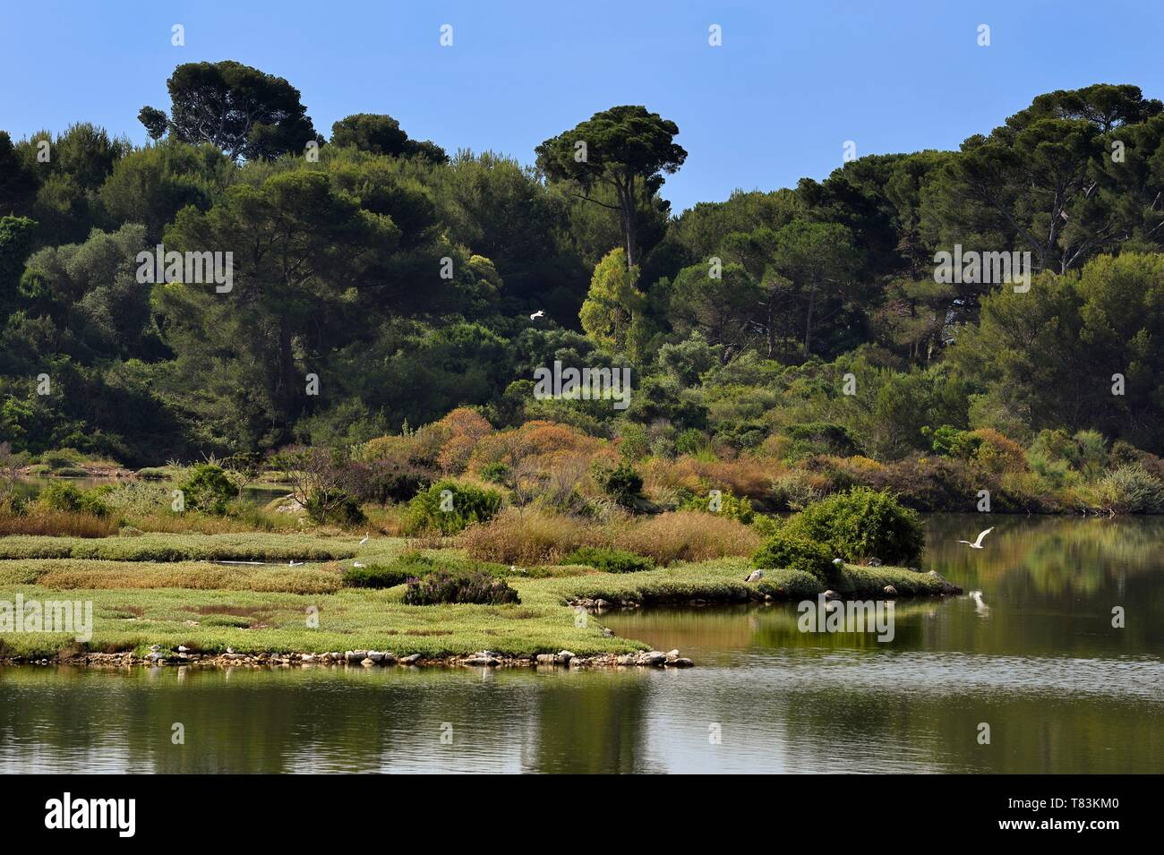 France, Alpes Maritimes, Lerins Islands, Sainte Marguerite island, domanial biological reserve, Bateguier pond, common tern (Sterna hirundo) and seagulls Stock Photo