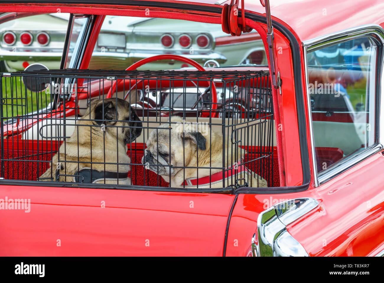 Dogs in a cage in the trunk of an old classic car - Stock Image