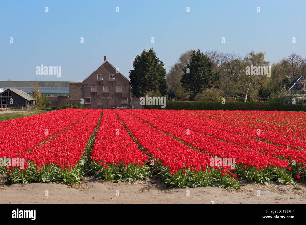 Lisse, Holland - April 18, 2019: Traditional Dutch tulip field with rows of red flowers and bulb sheds in the background Stock Photo