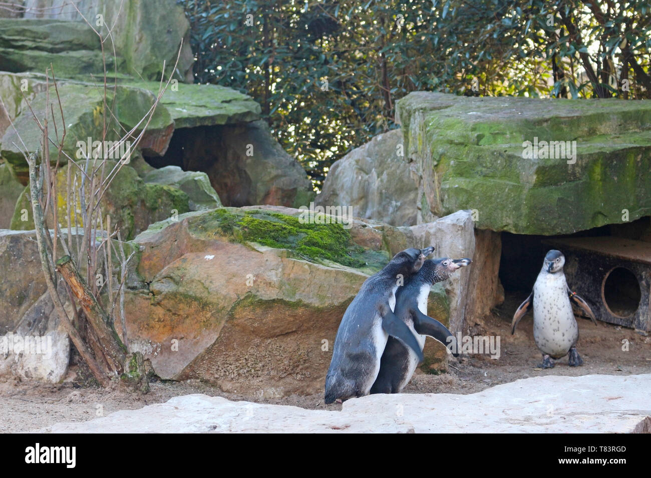 Penguins are seabirds that do not fly, and with the arrival of spring comes the mating ritual, and penguins are faithful animals. - Stock Image