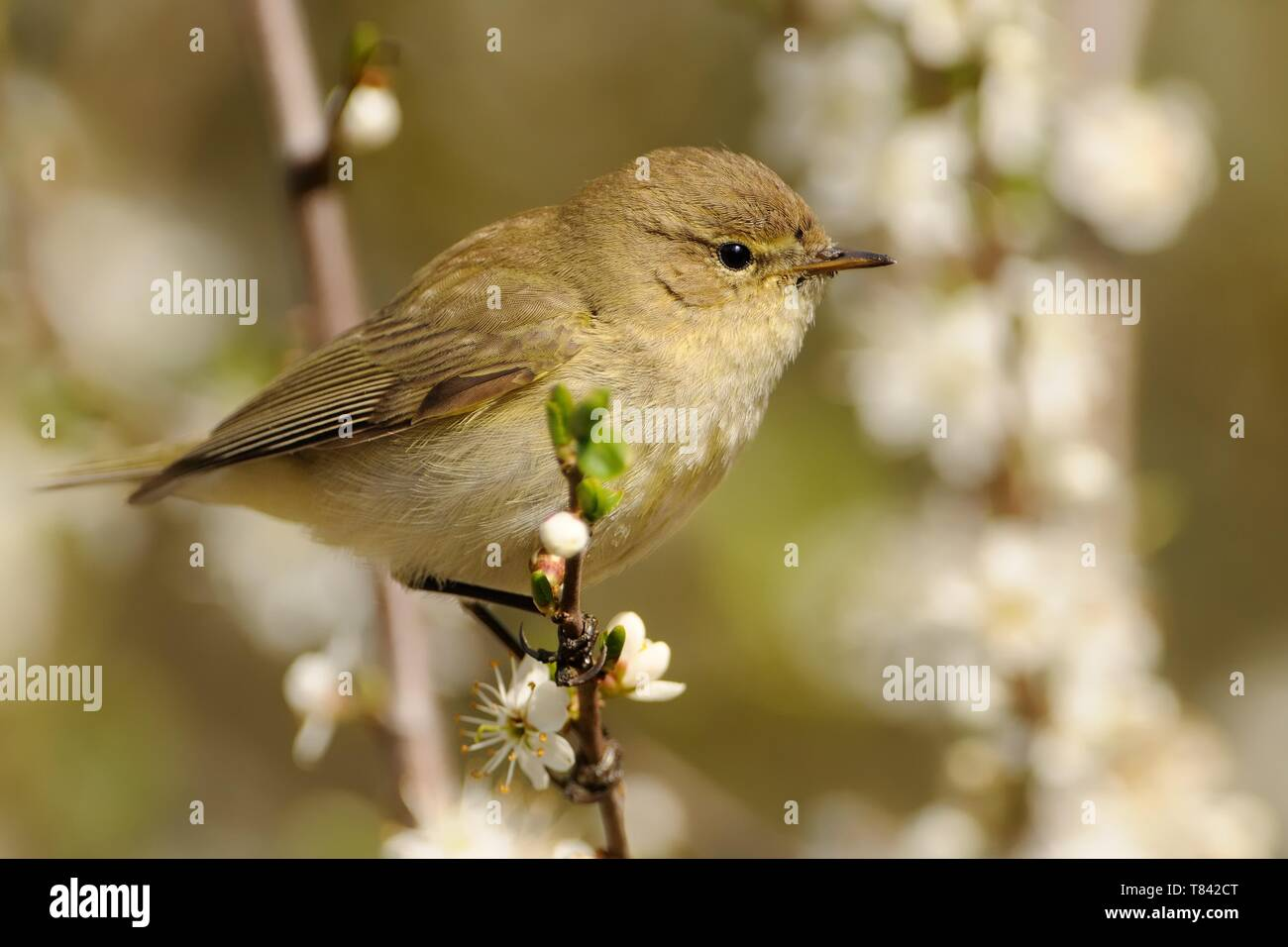 Common Chiffchaff - Phylloscopus collybita widespread leaf warbler which breeds in open woodlands throughout northern and temperate Europe and Asia. Stock Photo