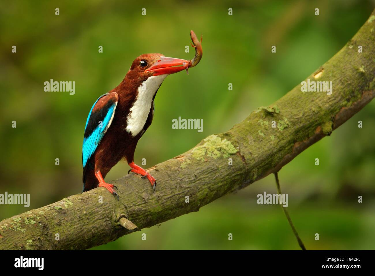 White-throated Kingfisher (Halcyon smyrnensis) on the branch, also known as the white-breasted kingfisher,  tree kingfisher, distributed in Asia from  - Stock Image