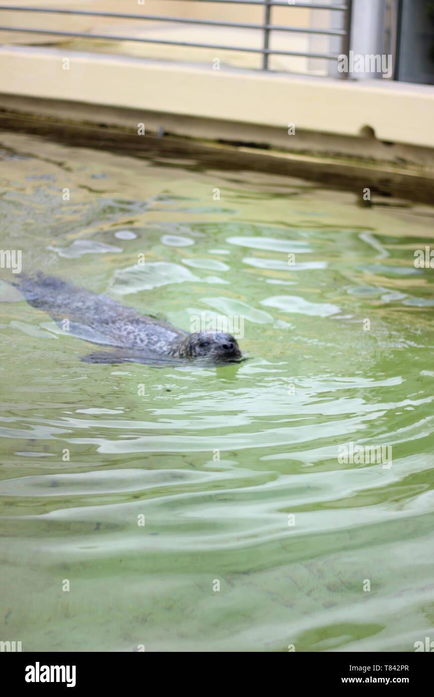 Seehund schwimmt im Wasserbecken des Geomar Helmholtz-Zentrum für Ozeanforschung Kiel Stock Photo