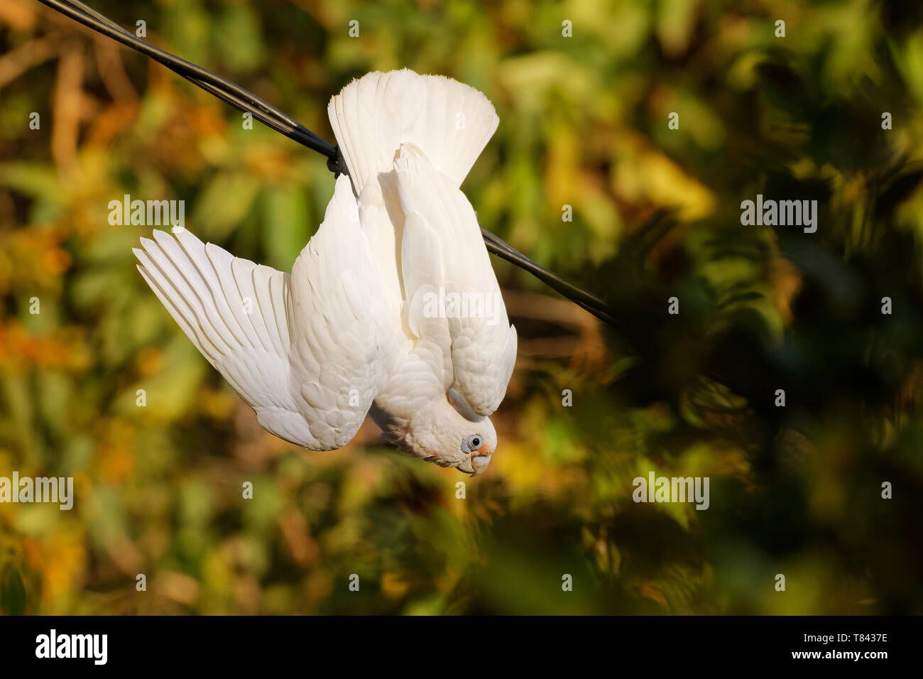 Little Corella - Cacatua sanguinea bird - feeding on the branch near Melbourne, Australia. Stock Photo