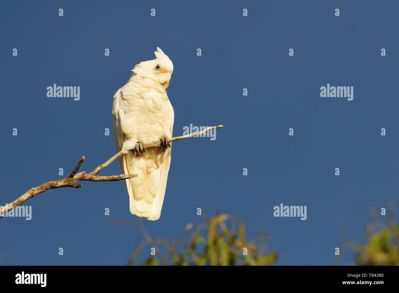 Little Corella - Cacatua sanguinea bird - feeding on the branch near Melbourne, Australia. - Stock Image