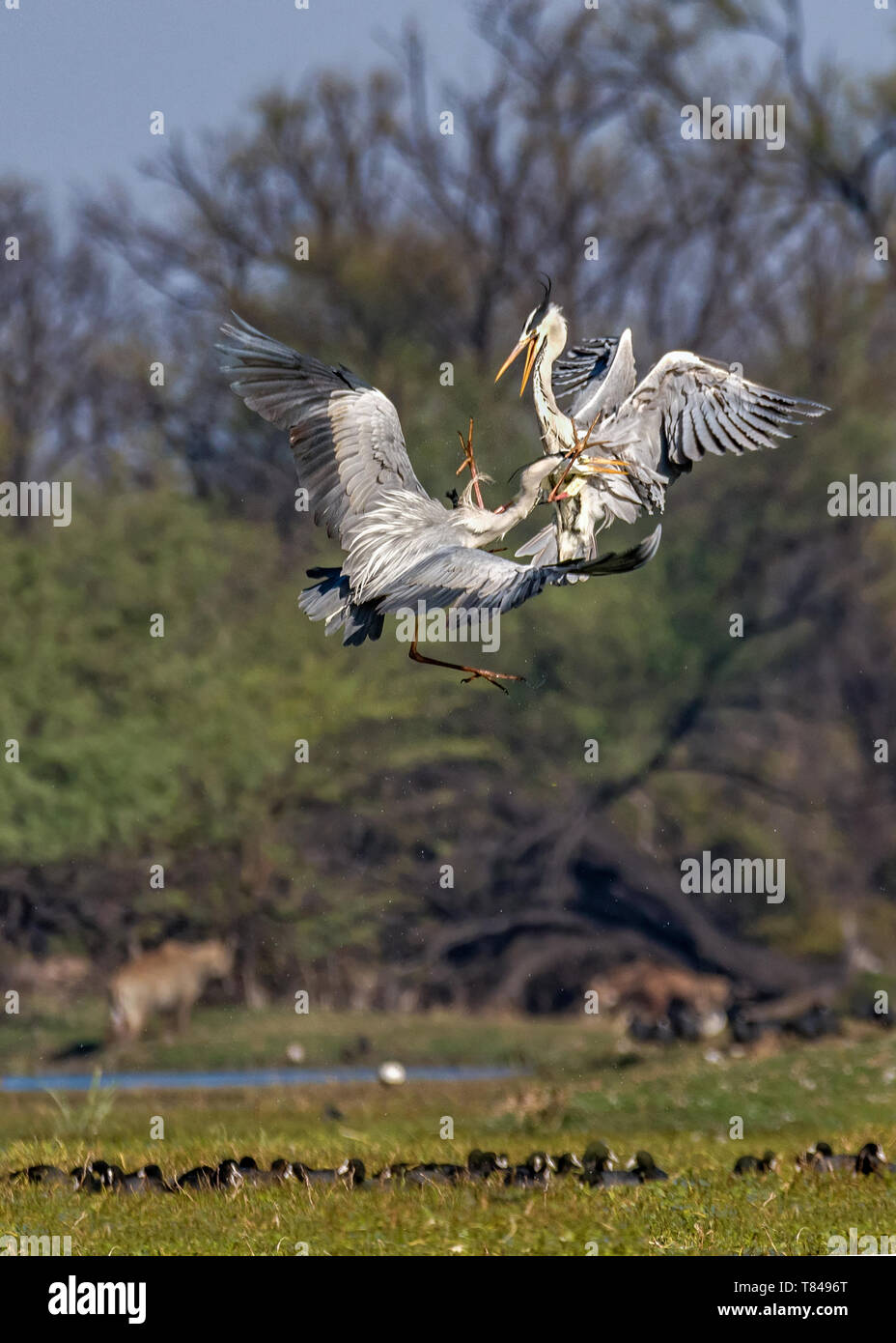 Grey heron (Ardea cinerea), In this frame two gray heron birds were fighting for it's territory at Keoladeo National Park, Bharatpur, India. - Stock Image