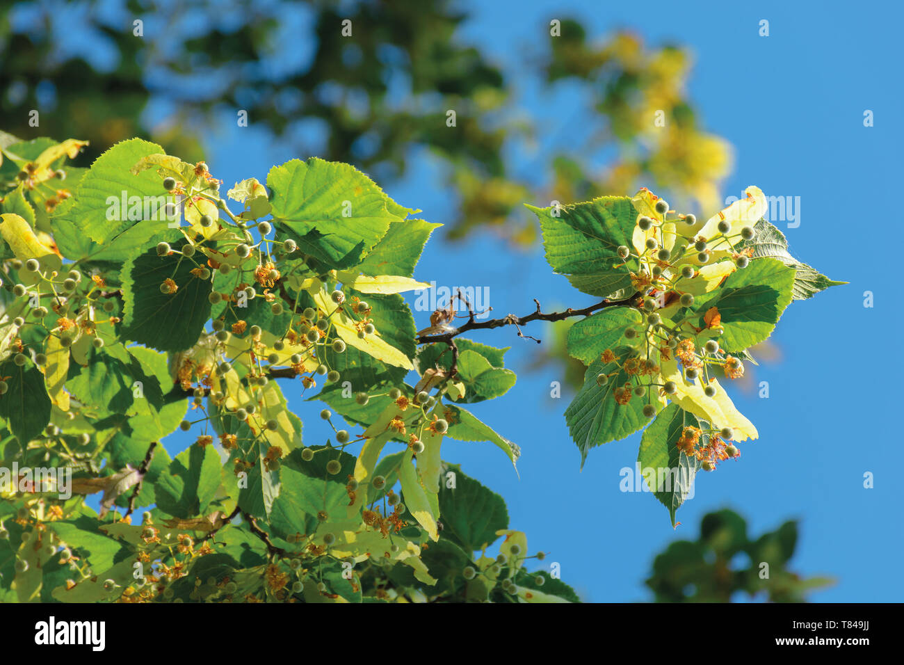 branches of the linden tree. nature scenery in summer. blue sky blurred on the background. green foliage in a sunny day - Stock Image