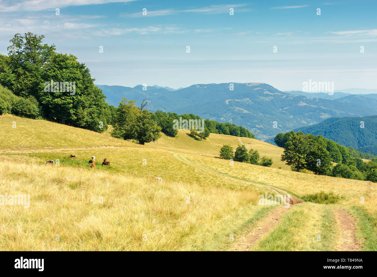 country road through grassy meadow in mountains. nature scenery with beech trees in the distance. sunny late summer landscape with clouds on a blue sk - Stock Image