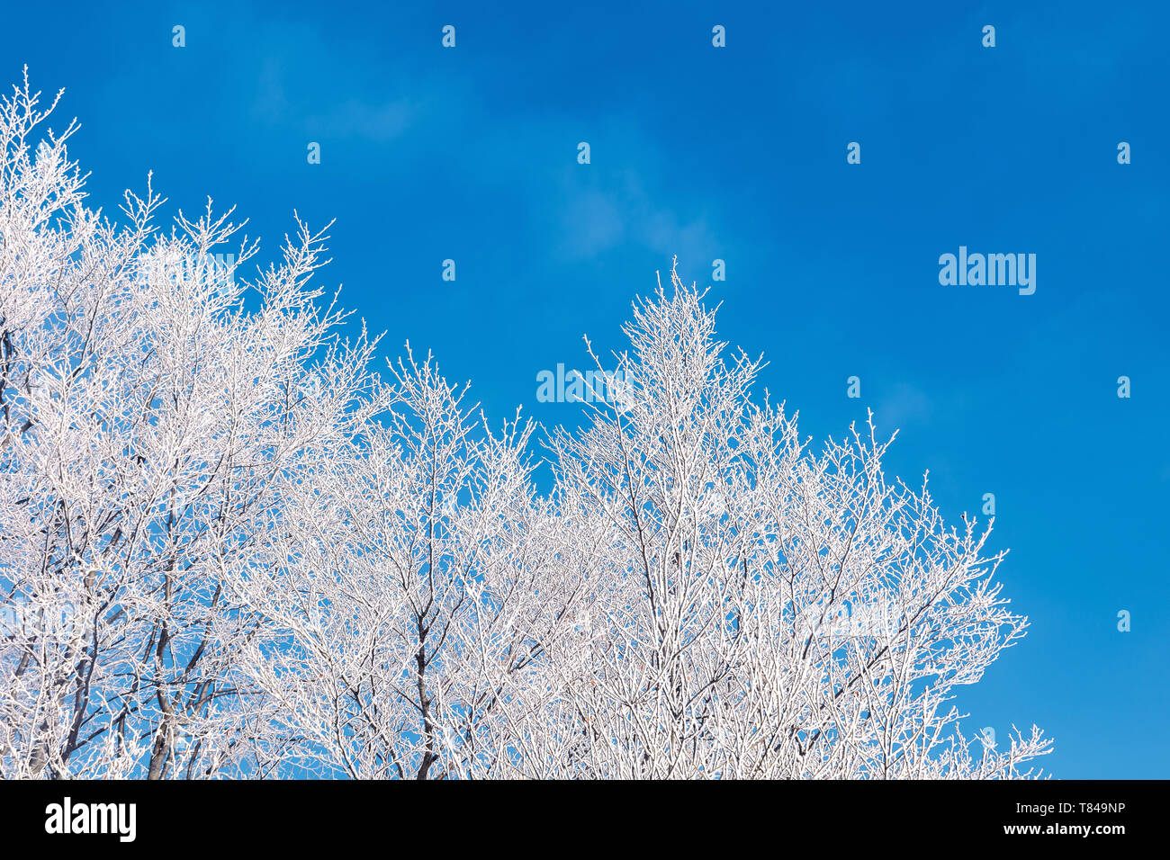 winter scenery with tree in hoarfrost.  bright sunny morning with clear blue sky background - Stock Image