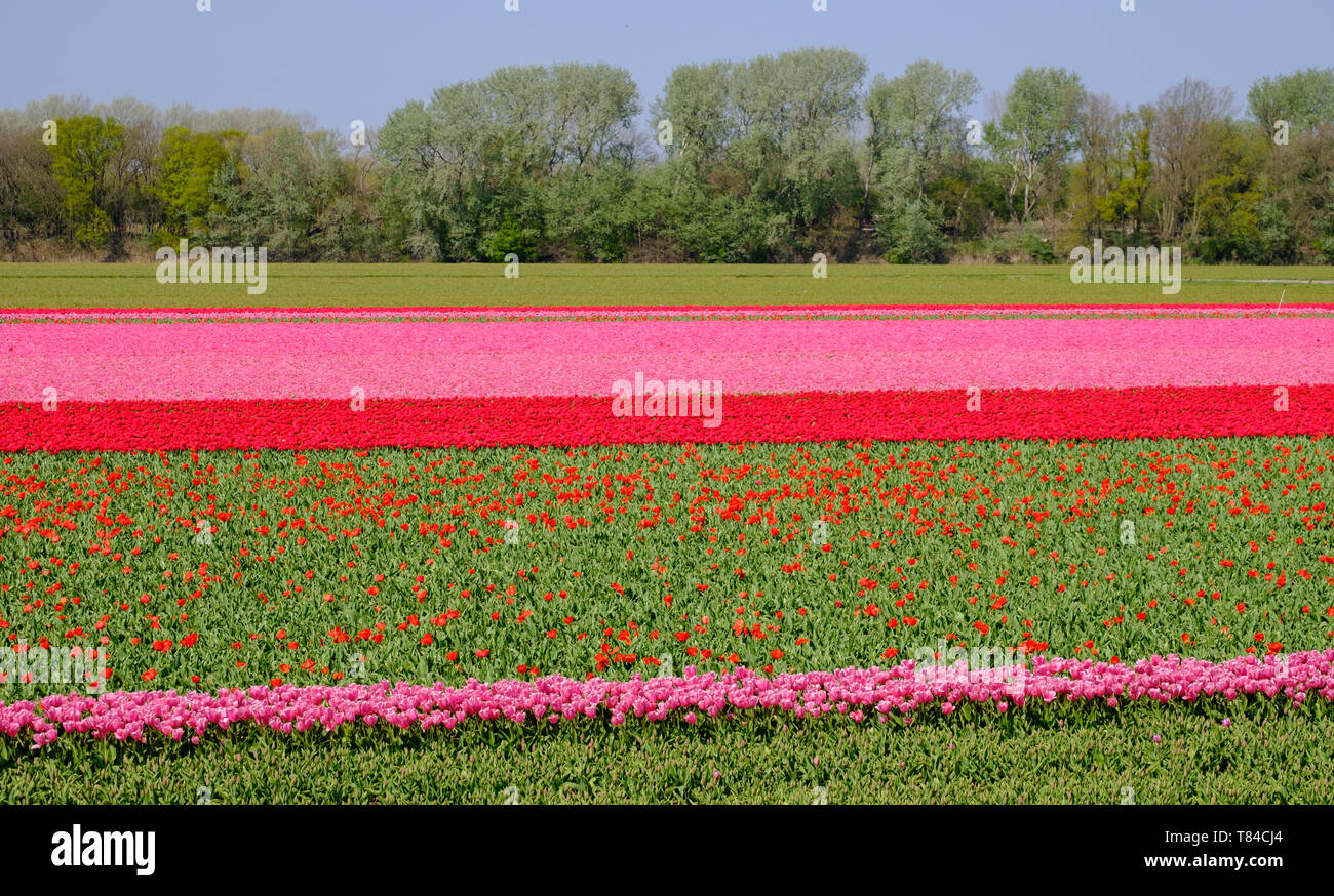 Tulips in rows of colour growing in flower fields in Lisse, South Holland, Netherlands. The flowers give the landscape a stunning striped effect. Stock Photo