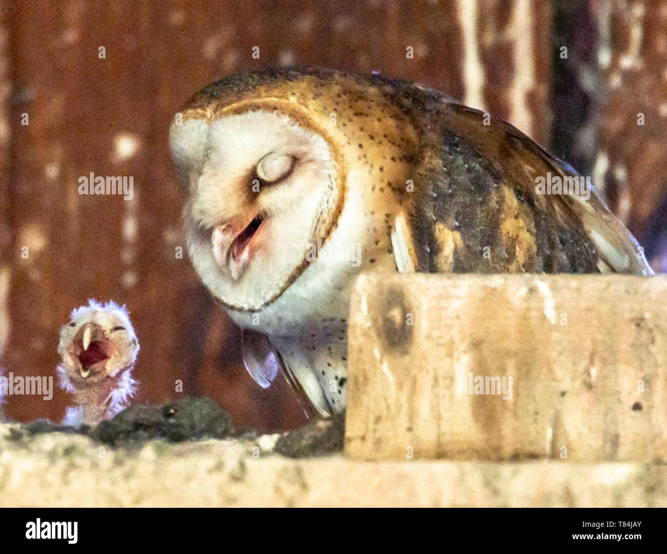 Elkton, OREGON, USA. 10th May, 2019. An adult barn owl and its newly hatched owlet perch in nest box in barn on a farm near Elkton in rural western Oregon. According to barnowltrust.org the female barn owl does all the incubation and the male provides all the food until the young are around 3 weeks old. Credit: Robin Loznak/ZUMA Wire/Alamy Live News Stock Photo