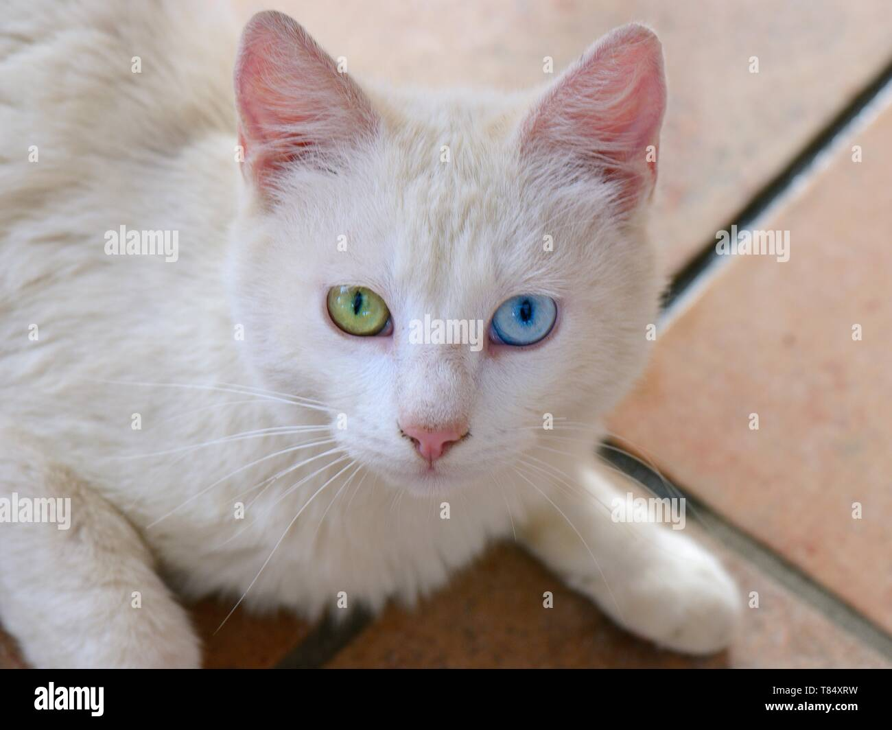 White Domestic cat (Felis catus) with different coloured eyes, Sardinia. - Stock Image
