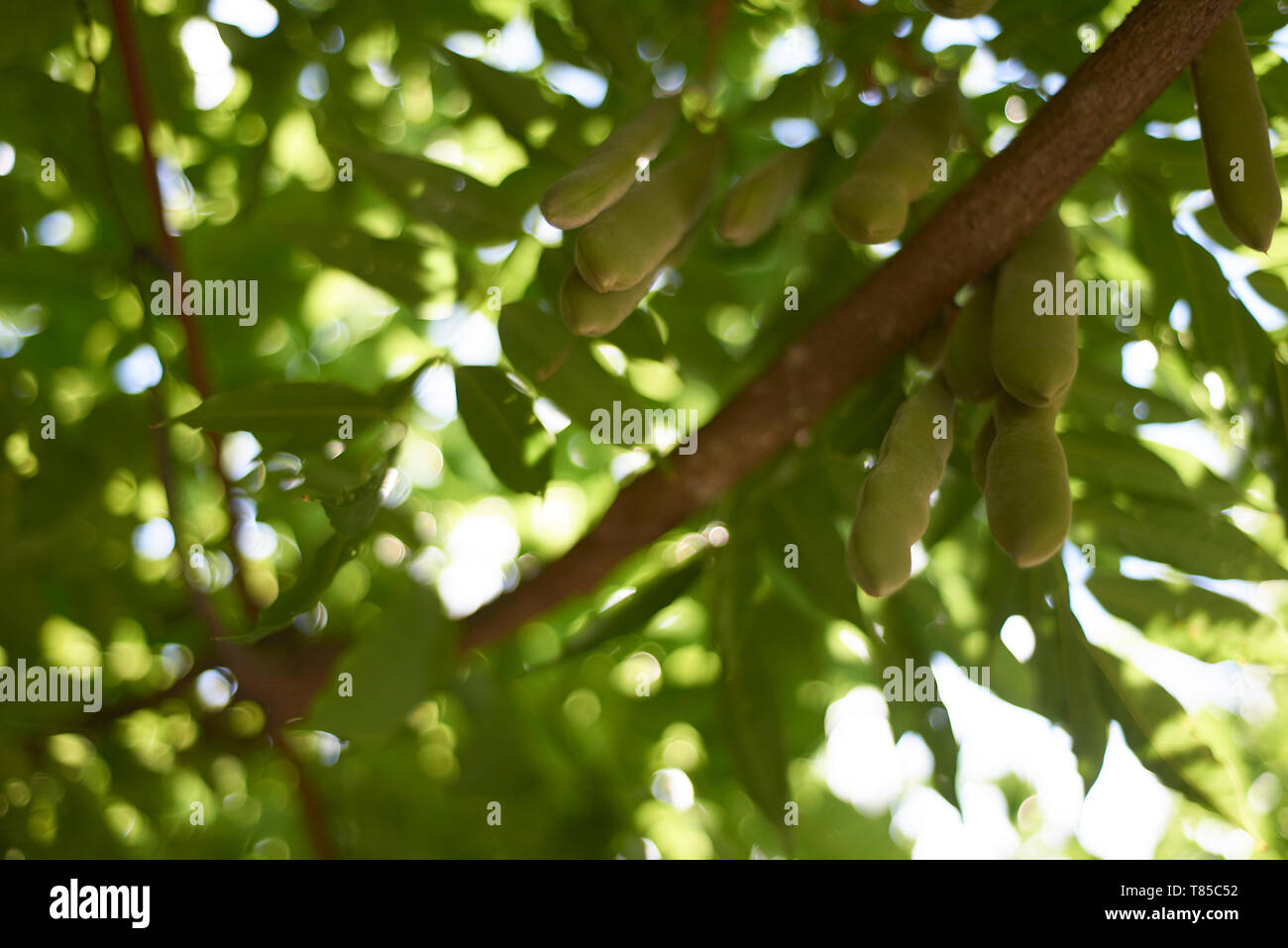 Beautiful shot of fresh growing green beans hanging on a tree in summer sunshine - Stock Image