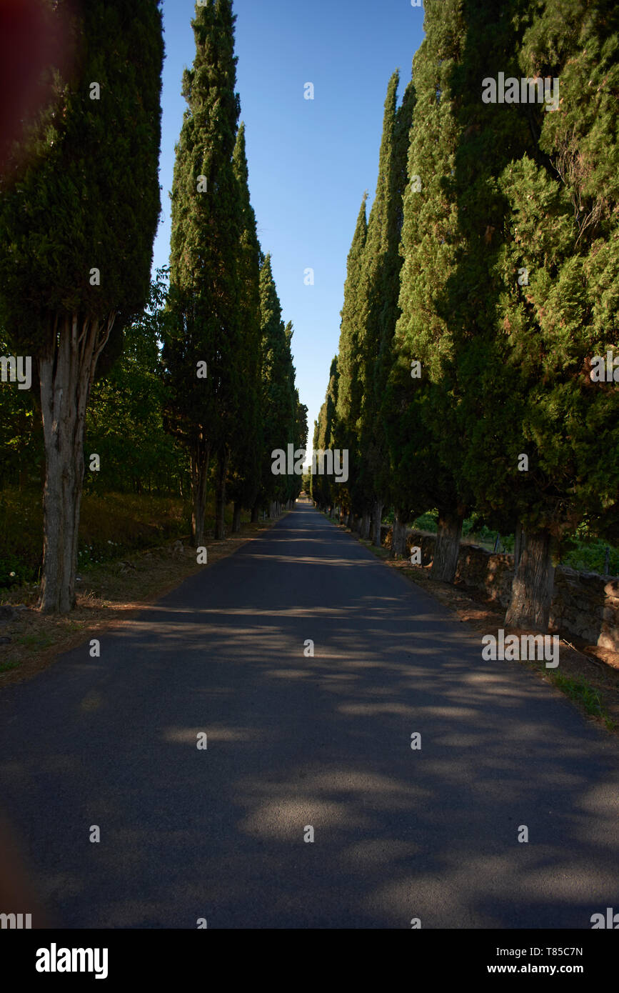 Vertical shot of pine trees lined up along a small road in Toscany in summer sunshine - Stock Image