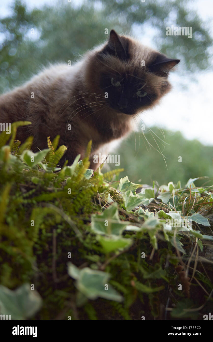 Cute fluffy cat enjoying the outdoors surrounded by nature in summer sunshine - Stock Image