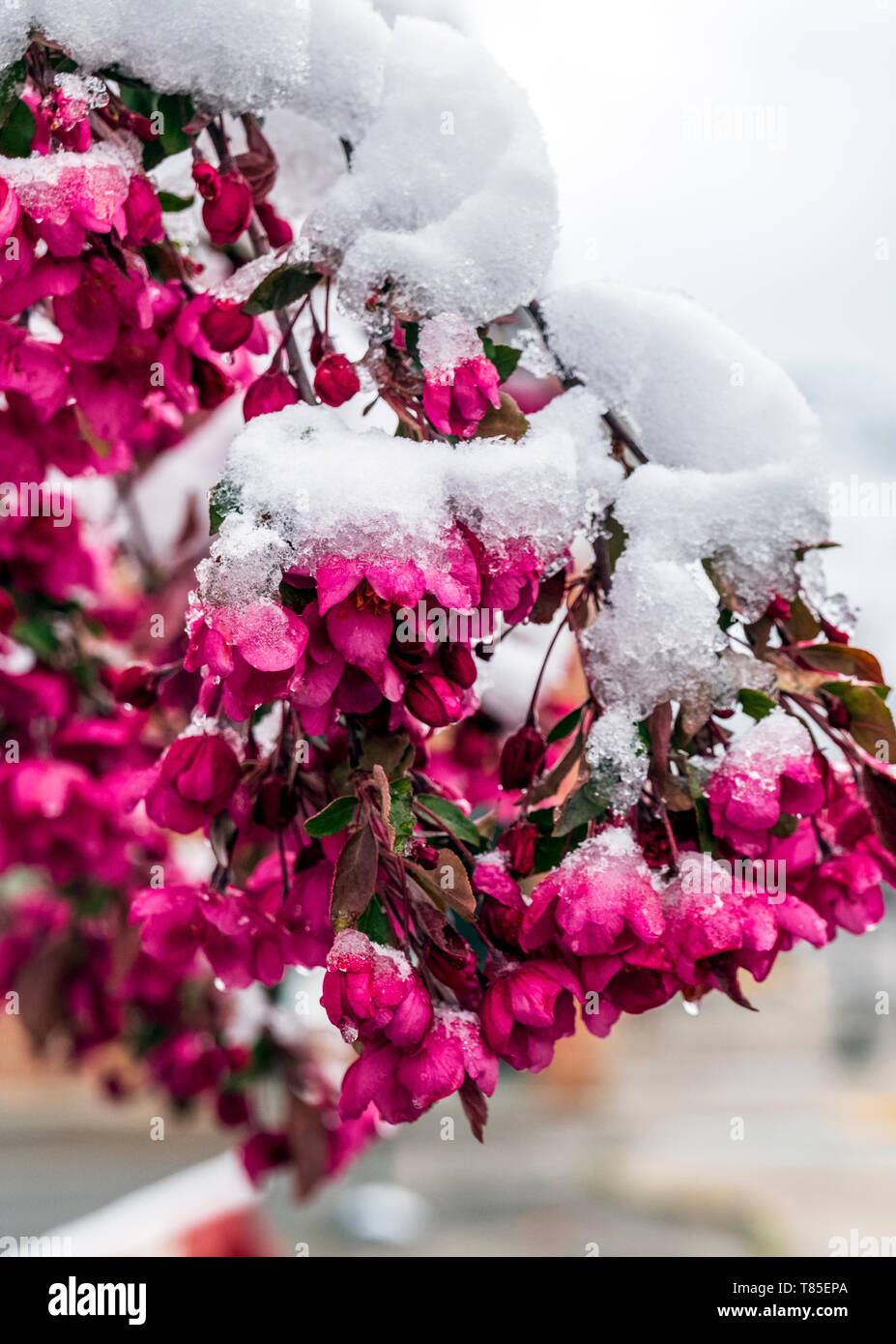 Crab Apple Tree dusted with fresh springtime snow; Salida; Colorado; USA - Stock Image