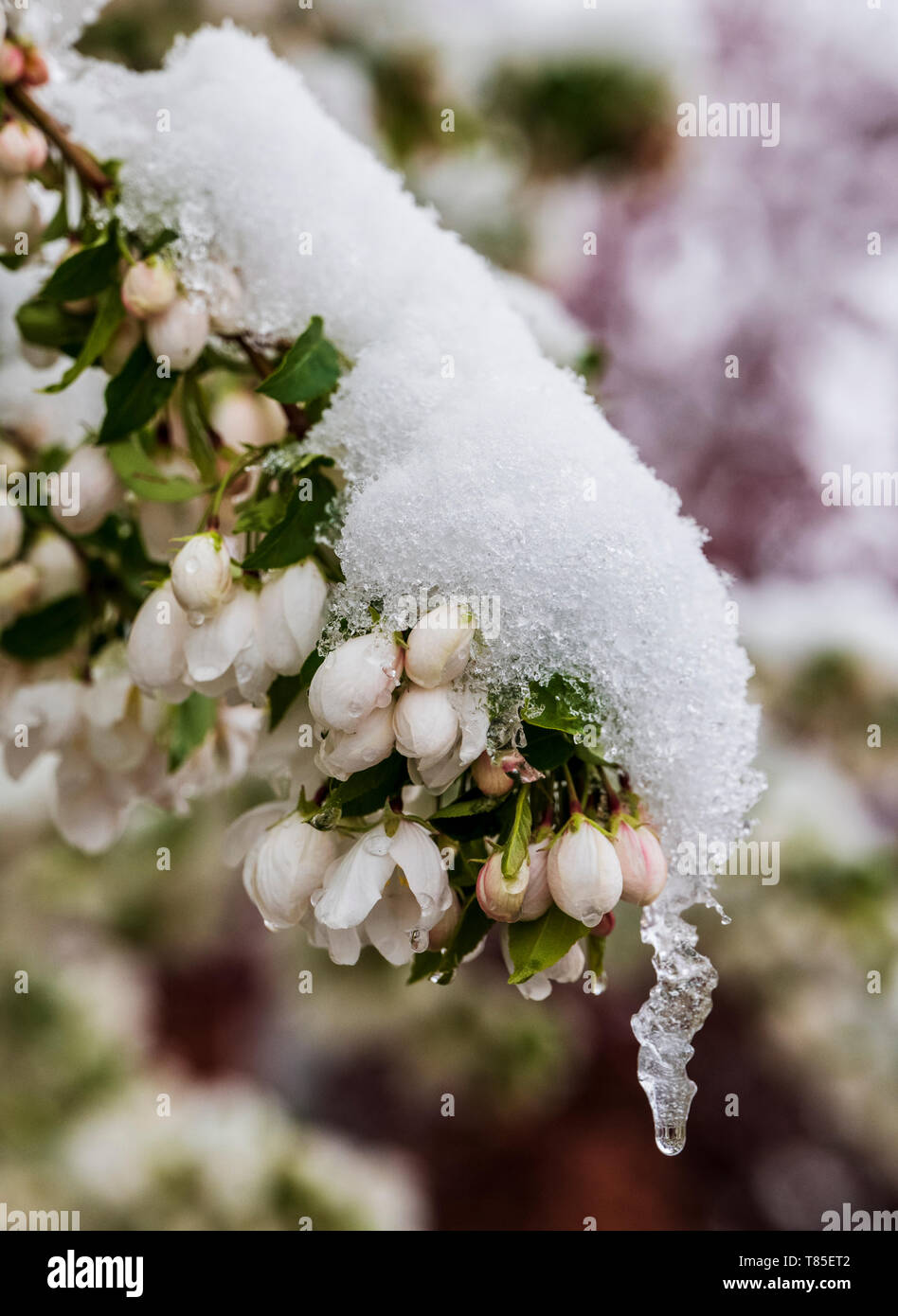 Asian Pear Tree dusted in springtime snow; Salida; Colorado; USA - Stock Image
