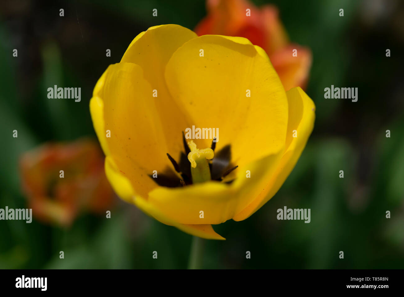 Tulips (lat.Tulipa) Stock Photo