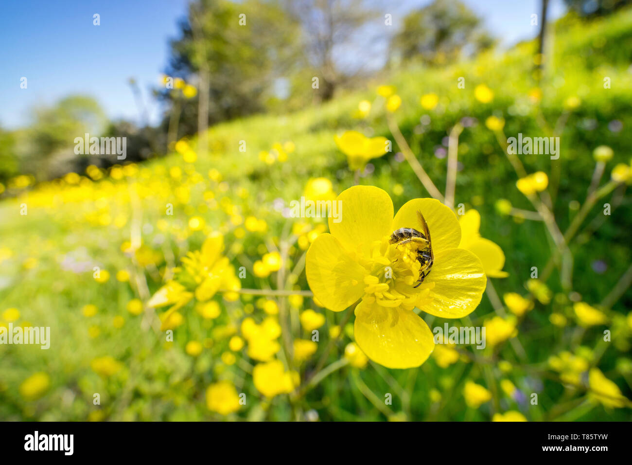 Sweat bee no buttercup flower - Stock Image