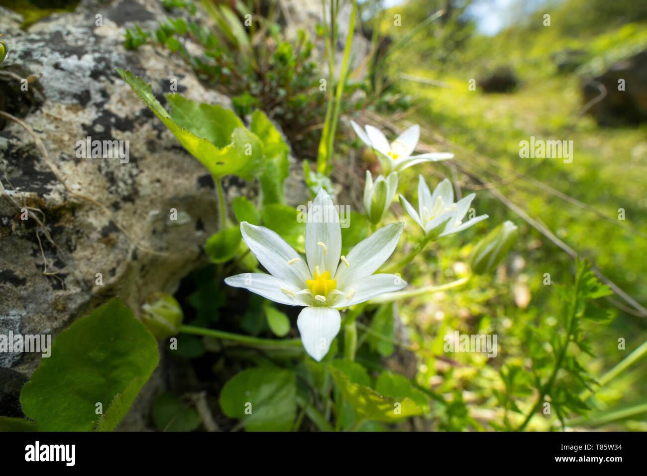 Star Of Bethlehem Flower Stock Photos Star Of Bethlehem Flower