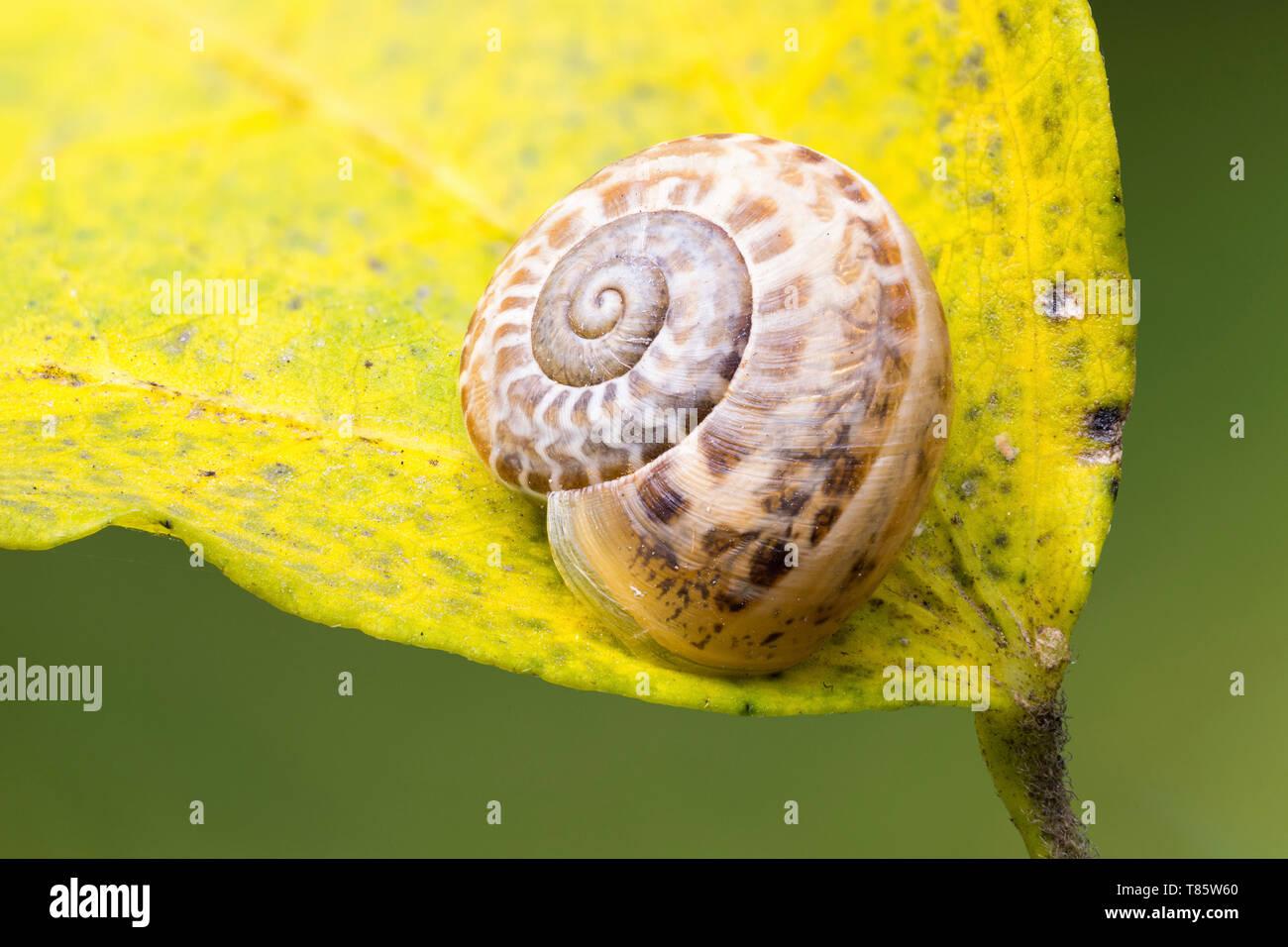 Garden snail hibernating - Stock Image