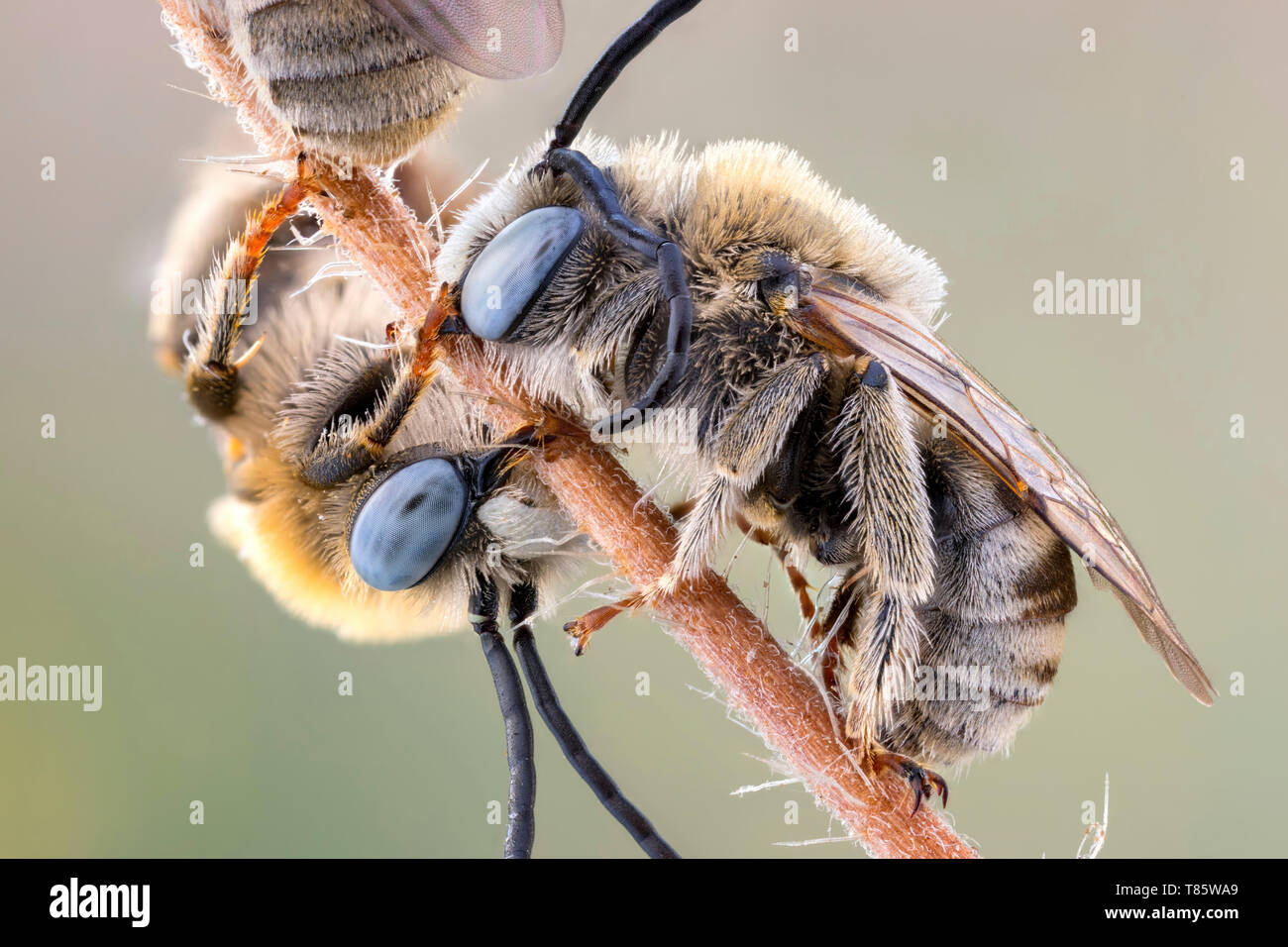 Long horned bees - Stock Image