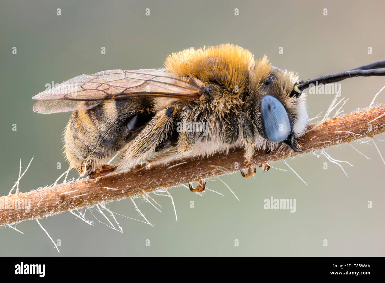 Long horned bee - Stock Image
