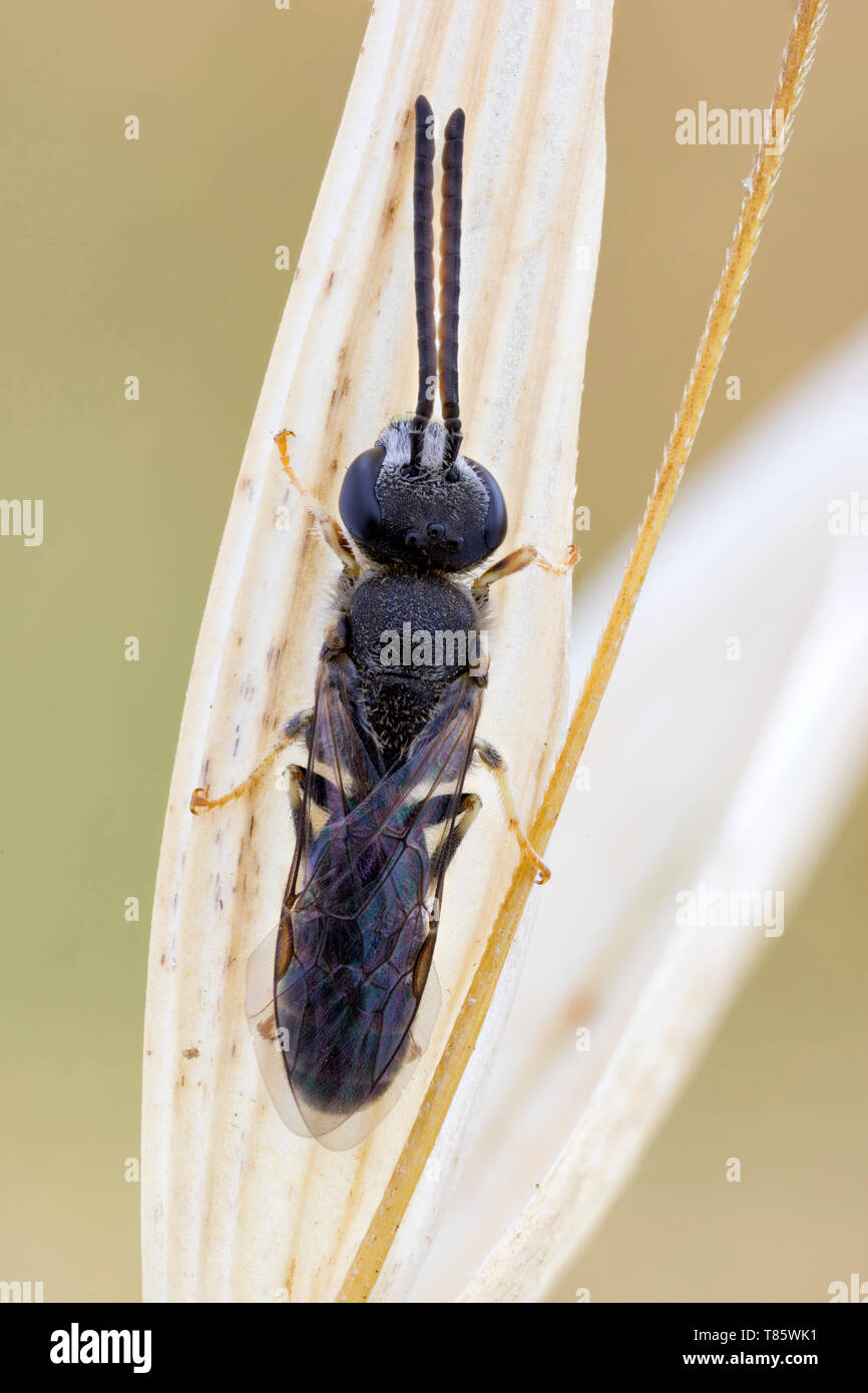 Sweat bee - Stock Image