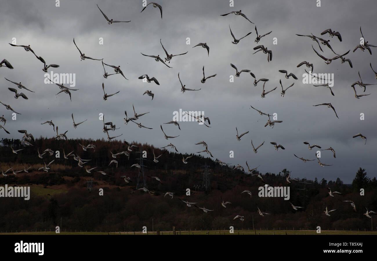 Greylag Geese Take Flight Sutherland Scotland - Stock Image