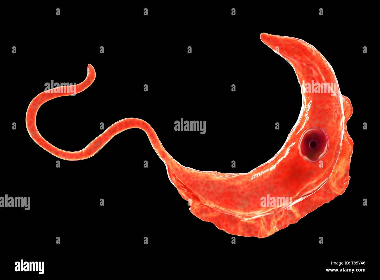 Sleeping sickness parasite, illustration - Stock Image