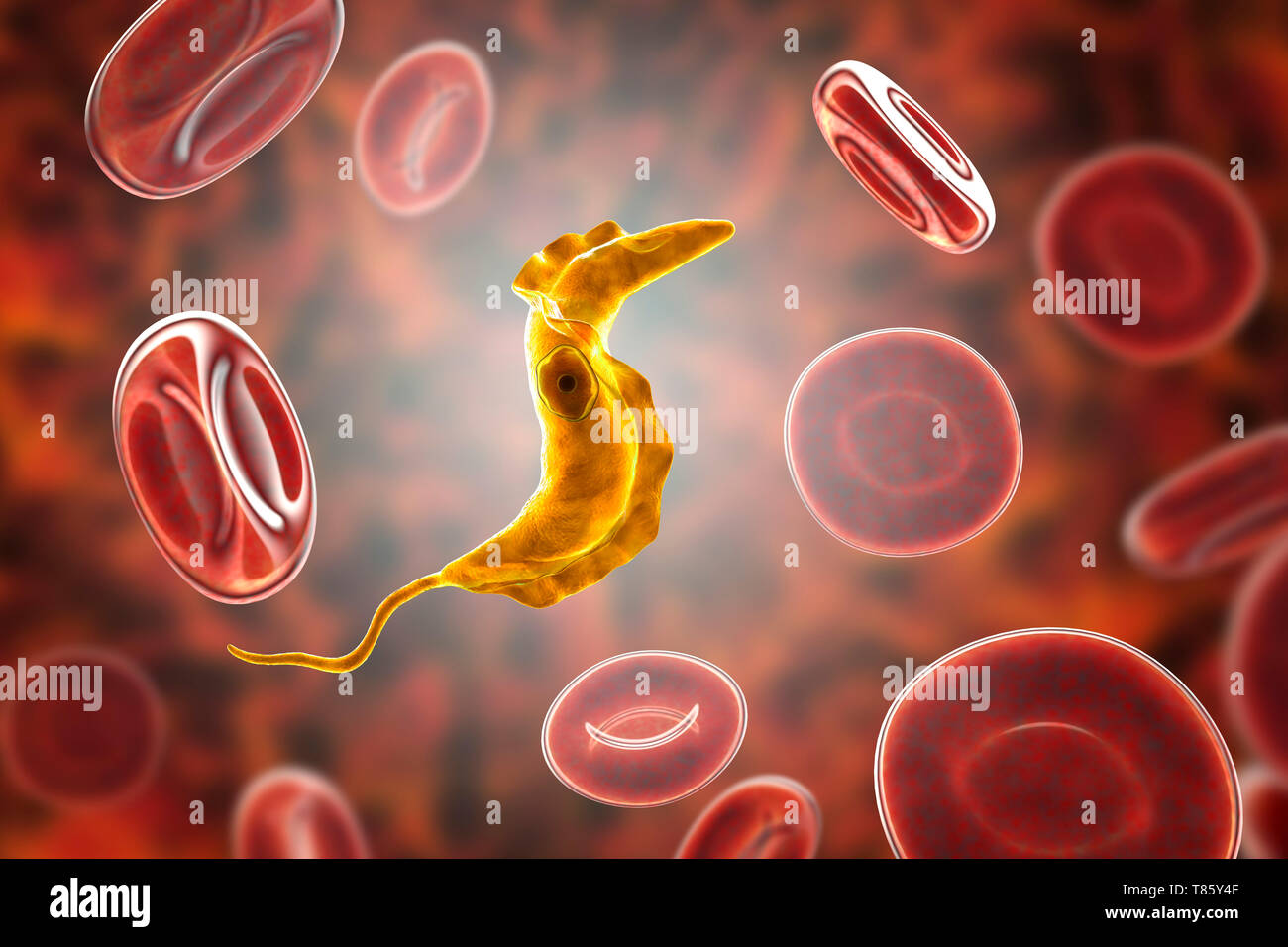 Chagas disease parasite, illustration - Stock Image