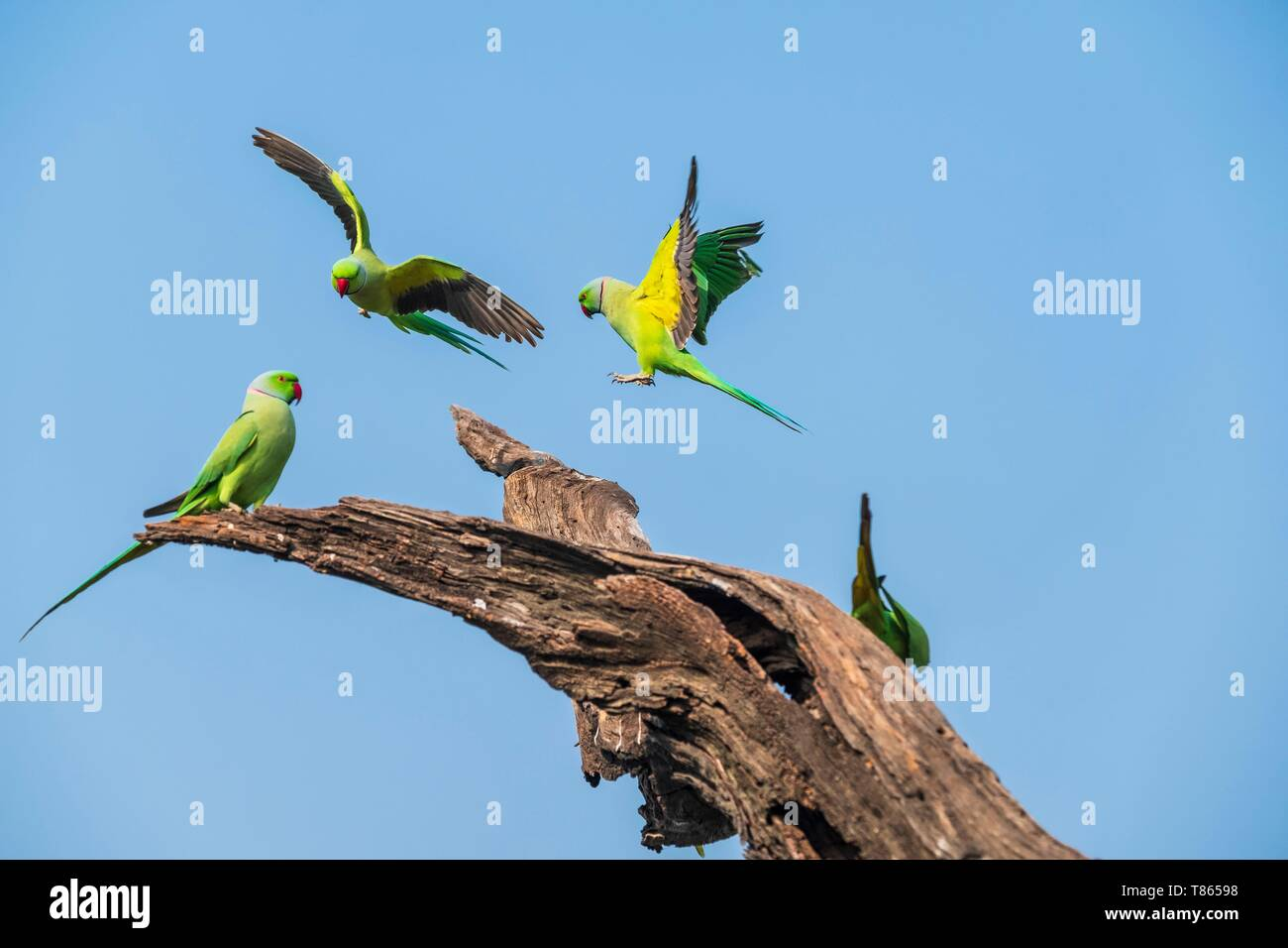 India, Rajasthan, Bharatpur, Keoladeo National Park (or Keoladeo Ghana National Park), a UNESCO World Heritage Site, is home to about 230 bird species, parakeets - Stock Image
