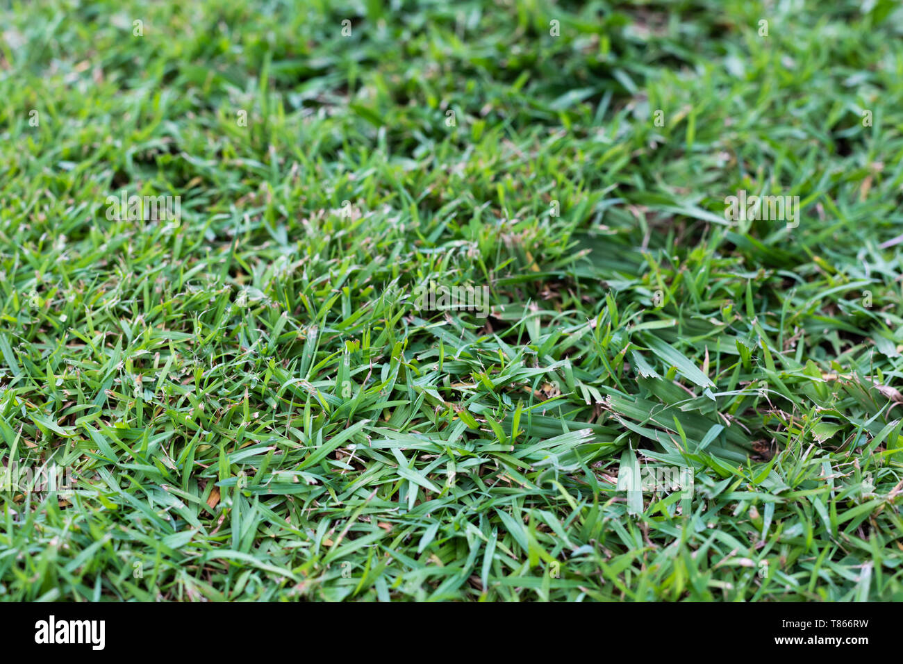 Buffalo Grass Lawn High Resolution Stock Photography And Images Alamy