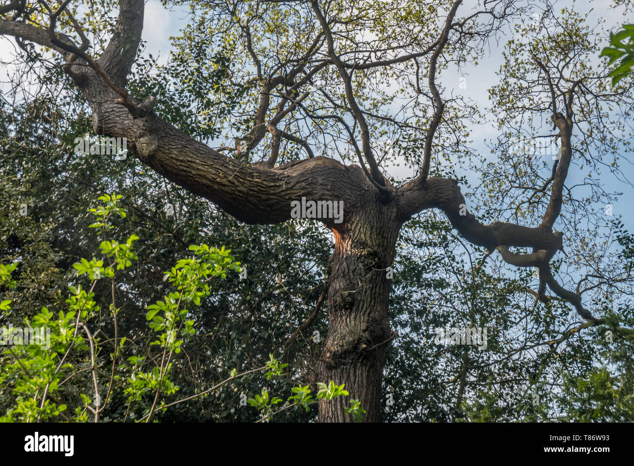 The warm spring sunlight shines through old trees, creating beautiful patterns. Suitable for making through the background. - Stock Image