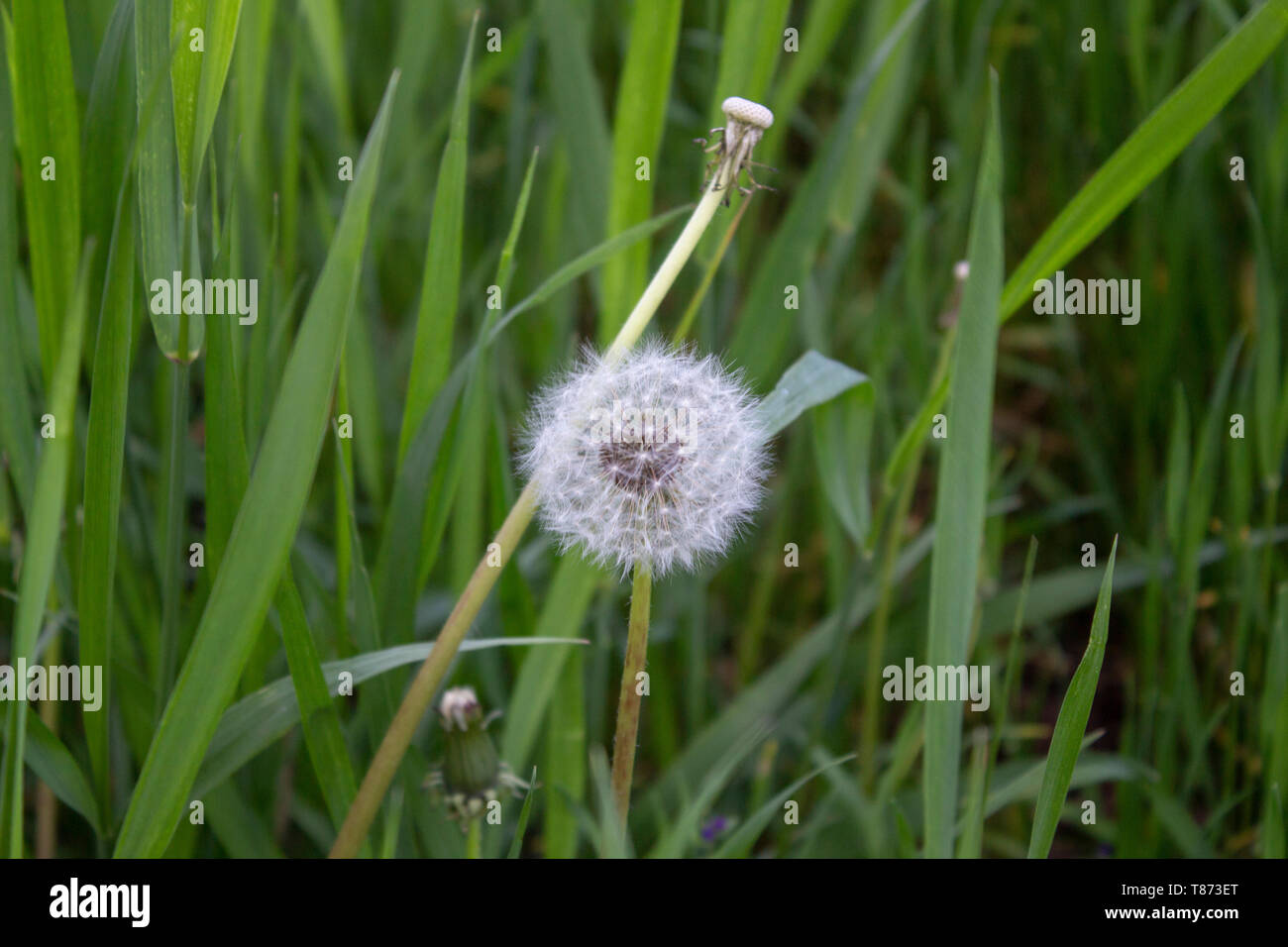 Dandelion is fallen and in all its glory - Stock Image