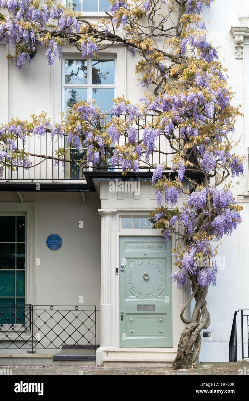 Wisteria on a house in Old Church Street, Chelsea, London, England Stock Photo