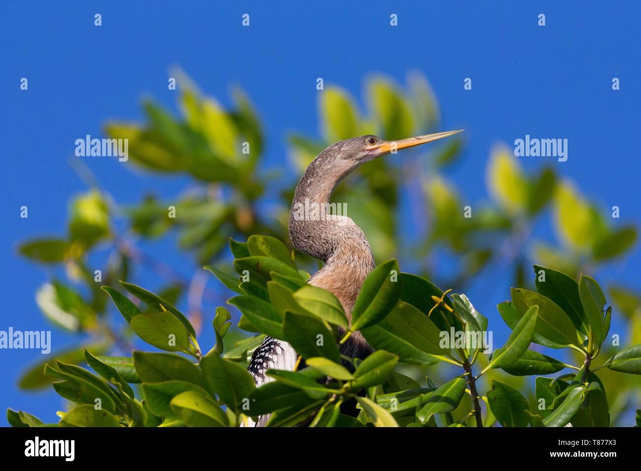 Cuba Province of Cienfuegos Cienfuegos, the Reserve Laguna de Guanaroca, snake bird, Anhinga (Anhinga anhinga) - Stock Image